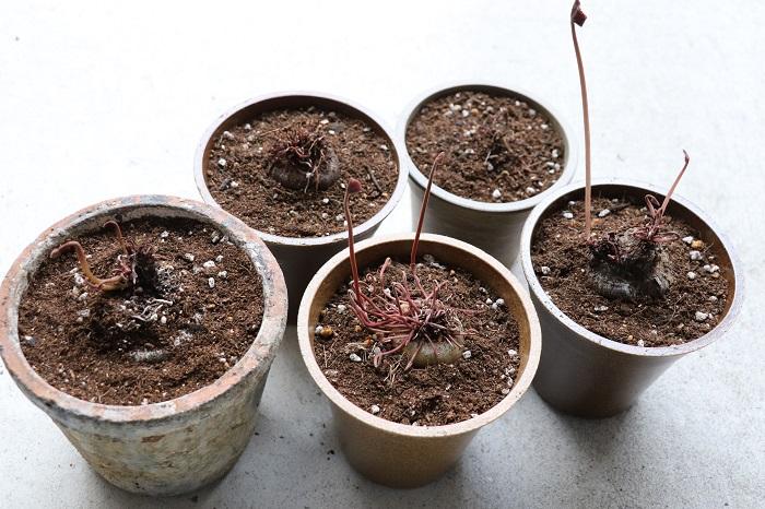 ガーデンシクラメンは夏はこのような状態になりますが、球根植物なので本来は上手に夏越しできたら何年でも花を咲かせることができます。シクラメンの夏越しのコツを覚えて、2年目の花を咲かせてみましょう。