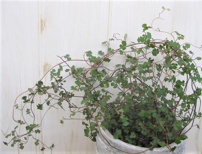 ワイヤープランツスペードは、葉がスペード型のワイヤープランツです。横や上にふんわりと広がる枝が寄せ植えに動きをプラスしてくれるアイテムになります。ワイヤープランツスペードを寄せ植えに使うと、とてもアーティスティックに演出できます。