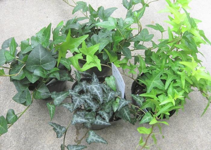 アイビーは寄せ植えのアクセントに使うポピュラーなツル性植物。普通と思われがちですが、実は葉の模様が様々あり、白い斑が入っているものやグレーやライトグリーンなどのマーブル模様の葉があったり、葉の形も丸みがあるものやハート型、シャープなタイプ、大ぶりの葉や小葉の繊細なタイプもあります。アイビーの中でもどのタイプの葉を使うかによって、寄せ植えの雰囲気が全く変わるので不思議です。