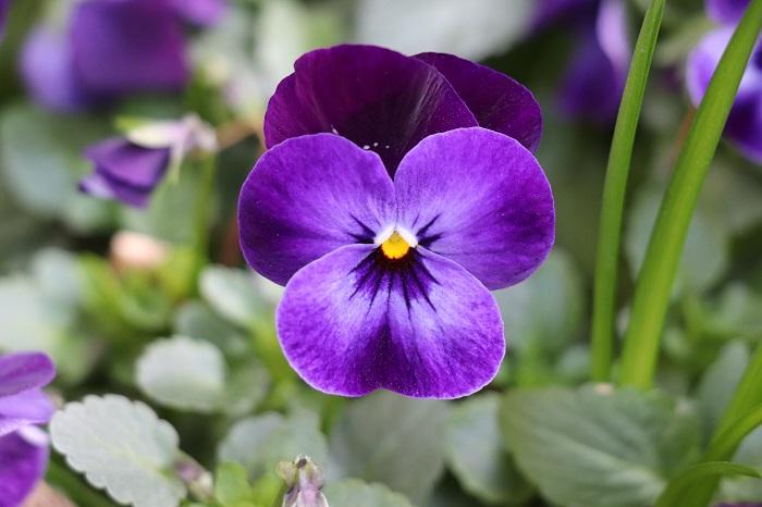 ビオラはパンジーより小ぶりの花を秋から春まで咲かせます。パンジーは花が大きいので一つ一つの花が咲くまでに少し時間がかかりますが、ビオラはそれに比べると小さな花が次々と咲き、咲き終わると花びらがまるまってきてしおれます。しおれてきた花を摘み取ると次の花がどんどん咲きます。