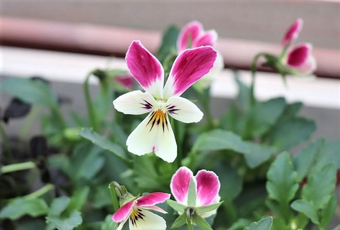 ビオラもパンジー同様に色、形、咲き方の種類が豊富で、毎年魅力的な新品種もつくり出されています。写真のビオラのように、うさぎ型の花が咲くビオラもあります。