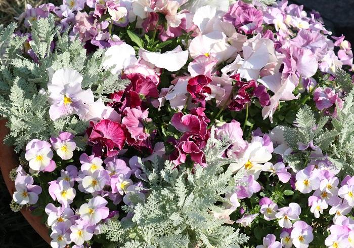 写真のように、繊細な葉のシルバーレースとパンジー・ビオラを組み合わせ寄せ植えをつくると、上品でやさしい雰囲気に仕上がります。