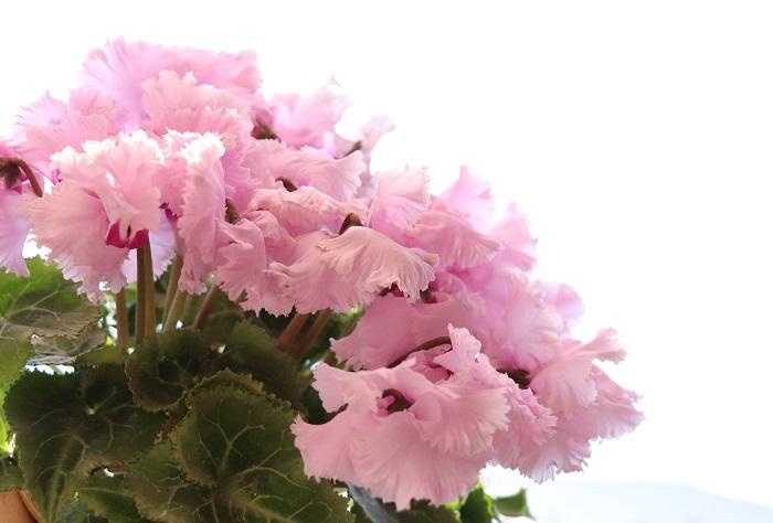 ラブリーなフリル咲きタイプはとても愛らしく、フリルの咲き方も様々あるので好みの咲き方を選ぶ楽しみも広がります。