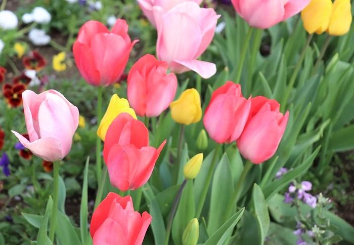 チューリップは春に花を咲かせる球根植物です。草丈は種類によりますが、15~60㎝ほどになります。花色は赤、白、黄色、ピンク、紫、複色など様々です。
