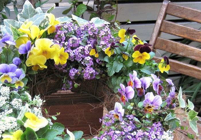 写真は、ビオラ数種に白と紫のスイートアリッサム、アイビーを合わせてつくったリースです。アリッサムの控え目な小花が、ビオラの華やかさを引き立てています。スイートアリッサムも単体で植えるより小花の可愛らしさが引き立っているように思えます。