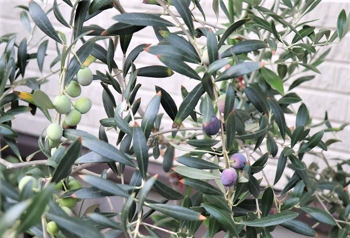 オリーブは夏場にかけて緑色の実がなり、秋になると実の色は赤から濃い紫色に変わります。