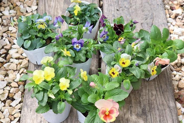11月は朝夕の気温が下がり、日中との寒暖差が出てくる季節。徐々に冬を感じるようになります。園芸店にはパンジーやビオラなど、秋から冬を超えて春まで花を咲かせる花苗が並ぶ月でもあります。寒くなってくるこれからの季節、植物はそれほど大きく生長せずにこんもり育ち、可愛い花を咲かせます。