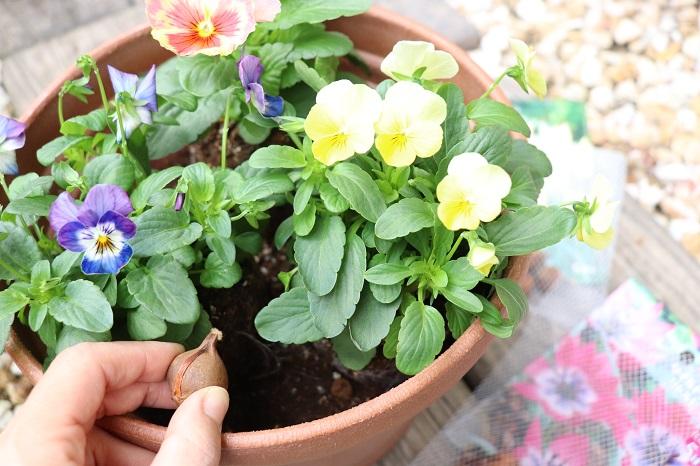 11月の寄せ植えで一番のおすすめは、何といっても草花と春咲き球根でつくる寄せ植えです。  「ダブルデッカー」とは、2階建て車両(バス、電車、船)を意味しますが、ガーデニングでは球根を2層に植えることを「ダブルデッカー」と言います。「トリプルデッカー」は3層植えのことです。11月に草花と一緒に球根を植え、春に草花の間から球根の芽が出てくるのを楽しみに育てましょう。