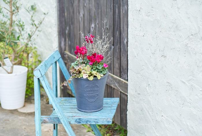 「戸外で楽しむシクラメン/ガーデンシクラメンの寄せ植え」この寄せ植えは、ガーデンセンターさにべるの間室みどりさんに教わりました。  ガーデンシクラメンと斑入りのキンギョソウ、数種類のカラーリーフを合わせた寄せ植えです。シックな色合いの器をセレクトすることでワインレッドのガーデンシクラメンが引き立ち、とても美しい上品な寄せ植えになっています。