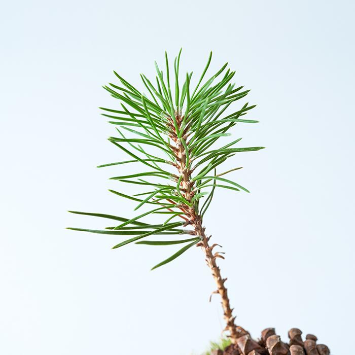 松は日本古来の樹木。盆栽の代表的な存在でもあります。樹勢も強く針金掛けがしやすいため盆栽の樹形がつくりやすい樹木なのです。  美しい樹形が特徴の樹木ですが、芽を出したばかりの松のすらっとした姿は見ごたえがあり、観賞を楽しめます。  芽出しの松を始め、ミニ盆栽など手軽な盆栽の存在により、身近な存在としても、新たな広がりを見せている盆栽。芽出しの松がきっかけで、ディープな盆栽の世界にのめり込んでいく可能性も十分あります……!