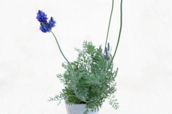 29.レースラベンダー シソ科 半耐寒性常緑低木 観賞期:周年 開花期:4~11月 花色:紫、白 草丈:30~40㎝  レースラベンダーは、日なたと水はけの良い場所を好みます。レースのように繊細なシルバーの葉を持ち、花は初夏を中心に環境が合えば長い期間咲きます。冬は霜に当たらないように管理すると周年楽しめます。