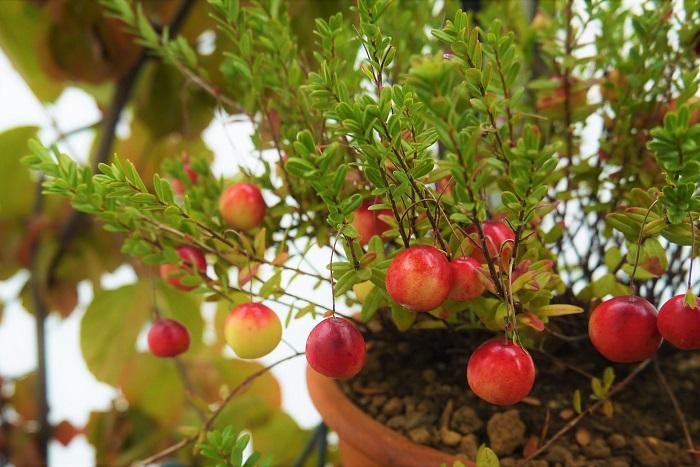 クランベリーの場所、用土 クランベリーは暑さに弱いので、風通しよく、西日を避けた日当たりのよい場所で管理します。夏の高温多湿に気をつけて管理してください。  クランベリーはブルーベリーなどと同じく、酸性土壌を好みます。ピートモスを混ぜるなどして、土壌を酸性にしておきましょう。鉢植えのクランベリーは、市販のブルーベリー用の培養土などが向いています。  クランベリーの水やり クランベリーは乾燥に弱く、湿気が多い土壌を好みます。土が乾ききらないように管理しましょう。庭植えのクランベリーも夏はたっぷりと水やりを行います。  クランベリーの肥料 2月と9月に有機肥料を施します。  クランベリーの剪定 秋の収穫が終わったら、混み合った枝を整理するように剪定します。また、5月に花が咲いていない枝を確認し、間引くようにします。  クランベリーの病害虫とその対処法 クランベリーは比較的目立った病害虫の被害はありません。風通しが悪いと稀にカイガラムシが付くことがあります。見つけ次第捕殺します。  日頃から風通しよく管理することが大切です。