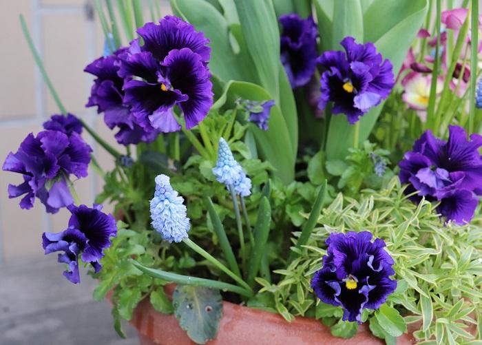 草花の根元に春咲球根を植えておくと、まだ肌寒い春先に球根がムクムクと芽を出して花が咲きます。春の訪れを教えてくれる球根植物に計り知れないパワーを感じ、元気をもらう人も多いのでは。私も毎年感動します。  根がやわらかい一年草の根元であれば球根も芽を出しやすいので失敗も少ないです。草花と球根を一緒に植えると小さなスペースで両方楽しめ、球根の水やりも忘れずに行えるのでとてもおすすめです。