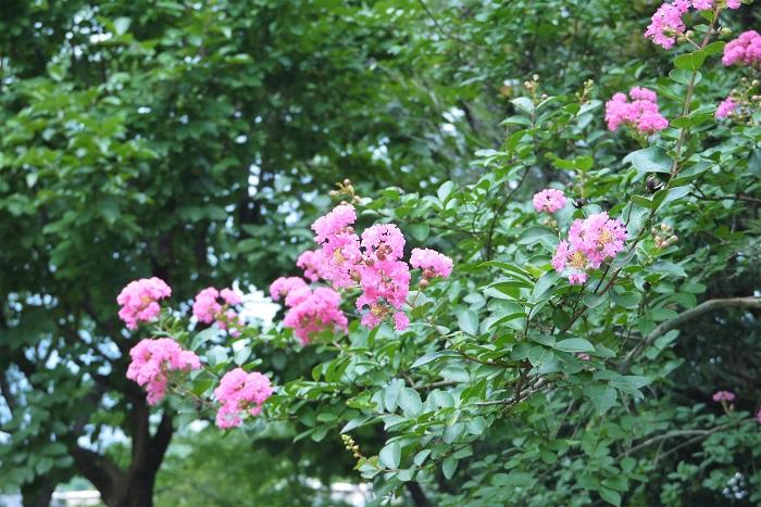 花期:7月~10月 樹高:3m~10m サルスベリは和名を百日紅というように夏から秋まで咲き続ける花期の長い落葉樹です。サルスベリの花は縮れたような特徴のある花びらをしています。花色はピンクの他に、白や紫などがあります。