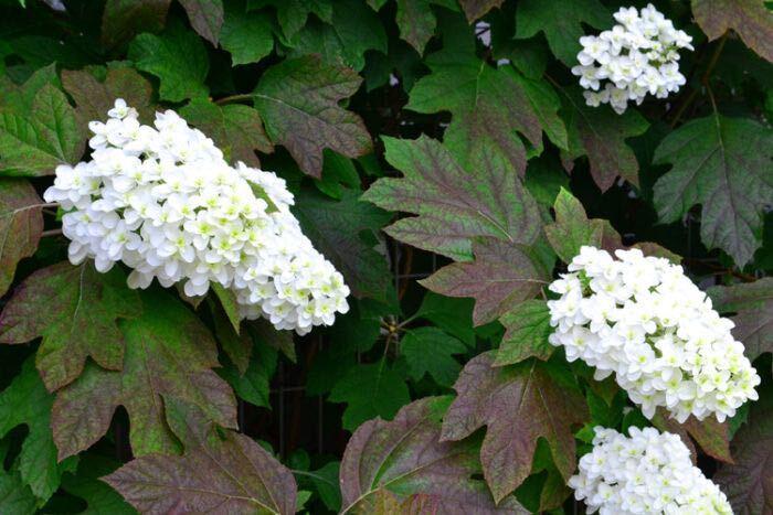 花期:5月~7月 樹高:1m~2m カシワバアジサイは柏に似た大きな葉が特徴のアジサイの仲間の落葉樹です。大きなピラミッド型の花を咲かせます。