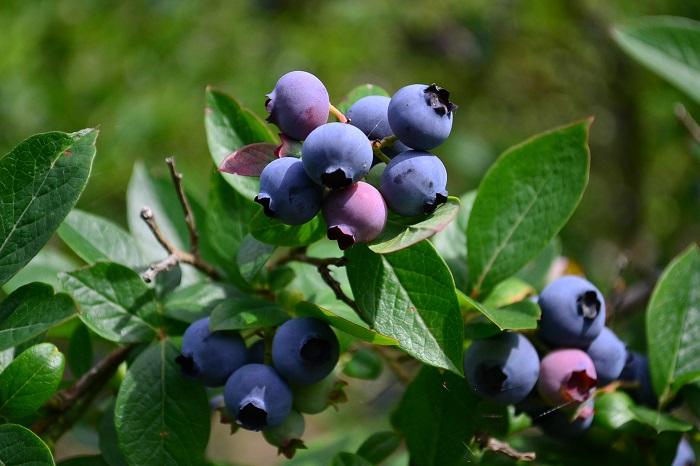 ブルーベリーは北米原産の落葉樹です。春には小さな白いつぼ型の花を下向きに咲かせます。初夏に収穫できる果実は甘く生食でき、秋には紅葉も楽しめます。  低木なので鉢植えでも地植えでも管理することができます。シンボルツリーとしてなら1本で栽培可能ですが、実を収穫するためには同一系統異品種のブルーベリーを近くで育てるとよいでしょう。
