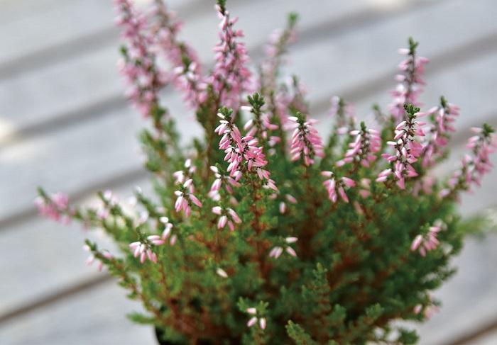 カルーナは樹高20~80㎝の低木です。コニファーのような枝がこんもりと密生して茂ります。樹木ですがそれほど大きくならないので寄せ植えのアクセントに使いやすいです。花色は白、ピンク、紫などがあり、葉色も豊富で、特に冬期は赤や黄色に美しく色づくものが多くあります。