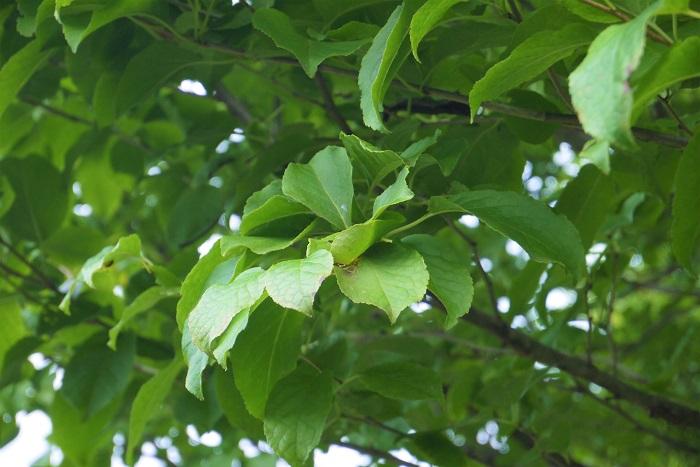落葉樹のメリット 落葉樹は春に芽吹き、夏の間は緑の葉を繁らせる樹木です。落葉樹のメリットは陽射しが強い夏の間は木陰を作り、心地よい場所を提供してくれます。秋には落葉する前に葉が赤や黄色に色付き、私達の目を楽しませてくれます。冬になるとその葉を落とし、冬の弱い陽射しを取り込んでくれます。  落葉樹の足元は、夏の直射日光が苦手な花や球根を植えるのに向いています。夏の強い陽射しを遮り、冬の間は暖かいお日様を当てて暖めてくれます。クリスマスローズなどは落葉樹の足元に植えると1年を通して生き生きとした姿を見せてくれます。落葉樹のメリットは春から夏の強い陽射しを遮り、冬には暖かいお日様を入れてくれるというところです。  落葉樹のデメリット 落葉樹のデメリットは冬になると葉が落ちてしまうことです。つまり、秋から冬にかけての落葉掃除が大変だということです。他にも落葉してしまうと枝だけになってしまうので、目隠しには向きません。また、茶色の枝だけになった姿は寒々しさを感じさせるというデメリットもあります。