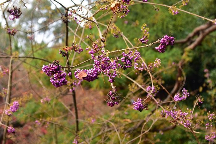 ムラサキシキブ  ムラサキシキブは古くから山地の湿地や森林に自生しています。葉の色は実がなりだす初秋の緑から、秋が深まってくると葉が黄色く紅葉し、紫色の実との色合いがとても美しく、英名ではJapanese beautyberryとも言われています。実は葉が落葉した後もしばらくついていますが、冬に自然に落下します。