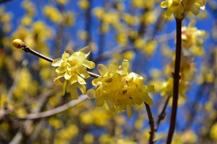 蝋梅は、梅よりも早くに春を告げてくれる花です。カスタードクリームのような優しい黄色と蝋を刷いたような花びらの質感、さらにうっとりするくらいの甘い香りは、昔からお正月に飾るお花として愛されてきました。  赤い実もそうですが、黄色という色も富や豊穣を表す色として、縁起が良いとされています。淡い黄色の花を咲かせる蝋梅も、花色と香りから縁起が良い花としてされてきたようです。
