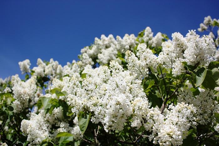 花期:4月~6月 樹高:2m~5m ライラックは春から初夏にかけて香りの良い花を咲かせる落葉樹です。ライラックという名前の他にリラとも呼ばれます。花色は白、ピンク、薄紫などがあります。