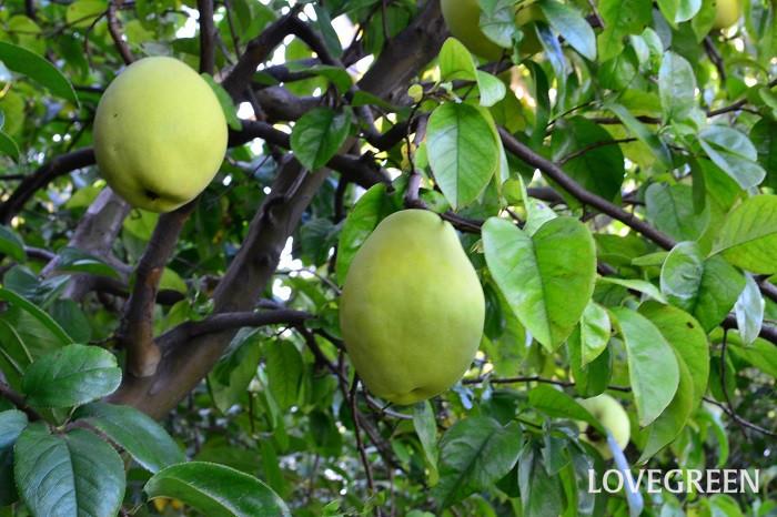 花期:4月 収穫期:10月 樹高:2m~5m カリンは春に可愛らしいピンク色の花を咲かせ、秋には洋梨のような果実を収穫できる落葉樹です。カリンの果実は生食には向かないので、果実酒などにして楽しみます。