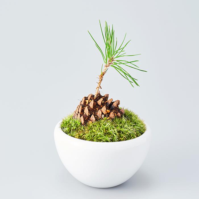お部屋のテイストや雰囲気を選ばない、比較的どんな場所にも合わせやすいのがこの鉢。暮らしに取り入れやすいシンプルな陶器の鉢です。 ツヤのある真っ白な鉢は小さな芽出しの松を引き立て、卓上や棚、ちょっとしたスペースにも飾って楽しめます。