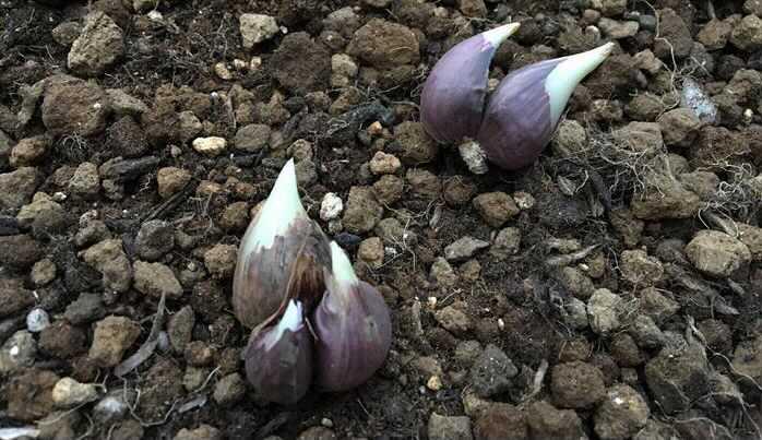 アサツキはネギを小ぶりにしたような野菜で、独特の香りがあります。薬味として活躍するので、自宅で育てて、必要な時に少し摘んできて使うようにするととても重宝します。