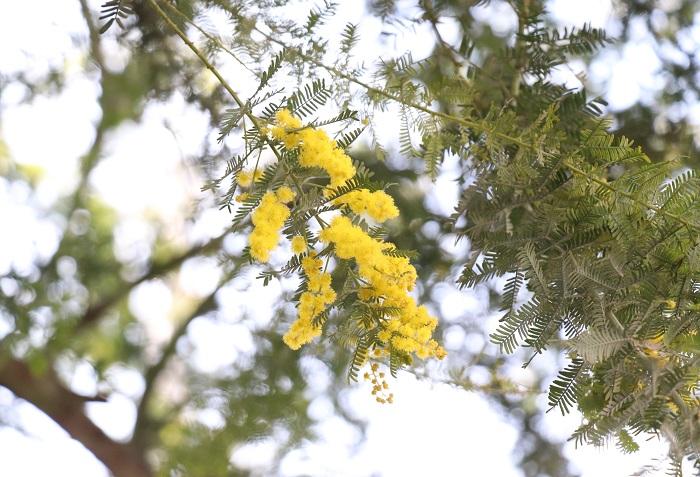 21.ミモザ(アカシア) マメ科 半耐寒性常緑高木 観賞期:周年 開花期:3月 花色:黄 樹高:1~10m  ミモザ(アカシア)は、日なたと水はけの良い場所を好みます。シルバーグリーンの葉と、春先に咲く明るい黄色の花のコントラストが美しい樹木です。生長が早くすぐに大きくなりますが、台風などで倒れやすいので支柱が必要です。温暖地では庭植えして越冬できます。