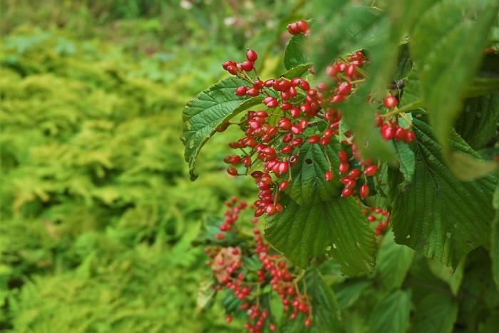 花期:3月~5月 収穫期:10月 樹高:5m ガマズミは春に白い小花の集合させて咲かせ、秋には真赤な宝石のような果実を付ける美しい落葉樹です。ガマズミの実は酸味が強く生食には向かないため、果実酒などにして利用されます。