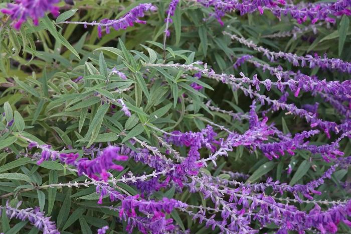 2.アメジストセージ(サルビア・レウカンサ) シソ科 耐寒性多年草 観賞期:3~12月 開花期:9~12月 花色:青紫 草丈:50~130㎝  アメジストセージ(サルビア・レウカンサ)は日当たりと風通しの良い場所を好みます。アメジストセージは株で大きくなる植物なので、庭植えで育てる場合はゆったりとスペースを確保しましょう。寒くなると葉が枯れてきます。花が終わったら株元から15㎝くらいの高さで切り戻しをして冬越しすると、春にまたシルバーグリーンの美しい葉が出て大きく育ちます。