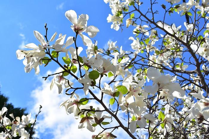 花期:3月~4月 樹高:5m マグノリアはモクレンやコブシ、その他モクレン科の樹木の総称です。どれも香りの良い花を咲かせます。