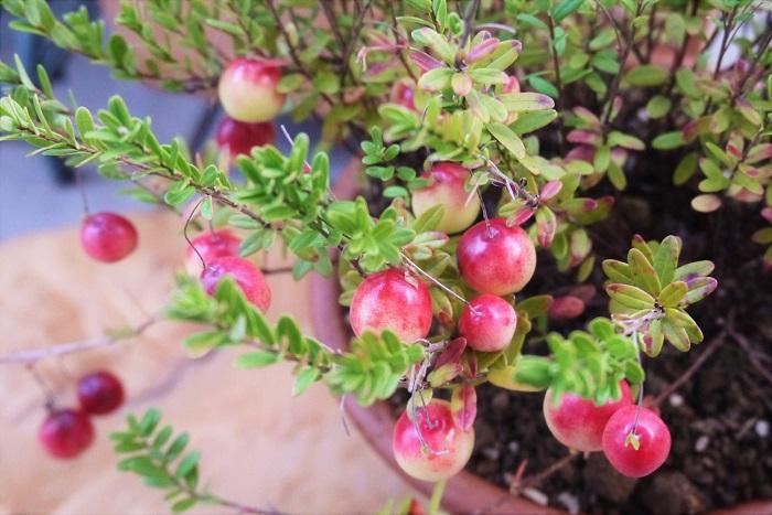 真赤に熟した実が可愛らしいクランベリー。花の可愛らしさも魅力です。湿気に弱いのが難点ですが、風通しのよい場所で管理すれば夏越しも問題ありません。 クランベリーに詳しくなって、自宅でクランベリーを育ててみましょう。