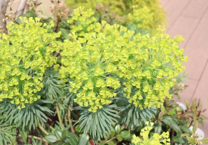 25.ユーフォルビア トウダイグサ科 耐寒性多年草 観賞期:周年 開花期:4~5月 花色:黄~黄緑色 樹高:50~150㎝  ユーフォルビアは日当たりと水はけの良い乾燥気味の場所を好みます。粘土質の土壌では状態よく育ちません。多肉質のシルバーグリーンの葉と美しい花が咲くユニークな草姿が魅力です。