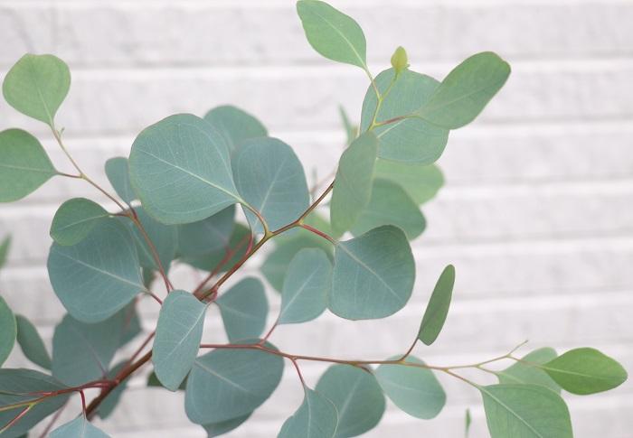 24.ユーカリ・ポポラス フトモモ科 耐寒性常緑高木 観賞期:周年 開花期:6~7月 花色:白 樹高:1~20m  ユーカリ・ポポラスは日当たりと風通しのよい場所を好みます。シルバーの美しい葉色と丸やハート型の葉が可愛い樹木です。庭のシンボルツリーをはじめとして、切り花、ドライフラワーでも人気があります。