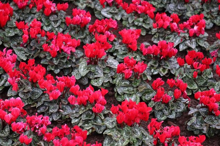 また、ガーデンシクラメンとミニシクラメンは異なります。ミニシクラメンの中から特に耐寒性の強い系統を選び、冬に屋外でも育てられるように改良されたものがガーデンシクラメンです。ガーデンシクラメンは秋から春にかけて次々に花を咲かせ、花の少ない冬にもお庭や花壇を華やかに彩ってくれるのでとても人気があります。どんな草花とも相性が良いので寄せ植えにもよく使われます。