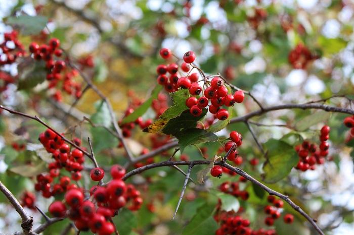 花期:4月~5月 収穫期:10月~11月 樹高:2m~5m アロニアは春の小花と秋の果実が可愛らしい落葉樹です。アロニアには大きく分けて、黒い実がなる種と赤い実がなる種とがあります。黒い実がなるアロニアは2m~3m程度の落葉低木です。
