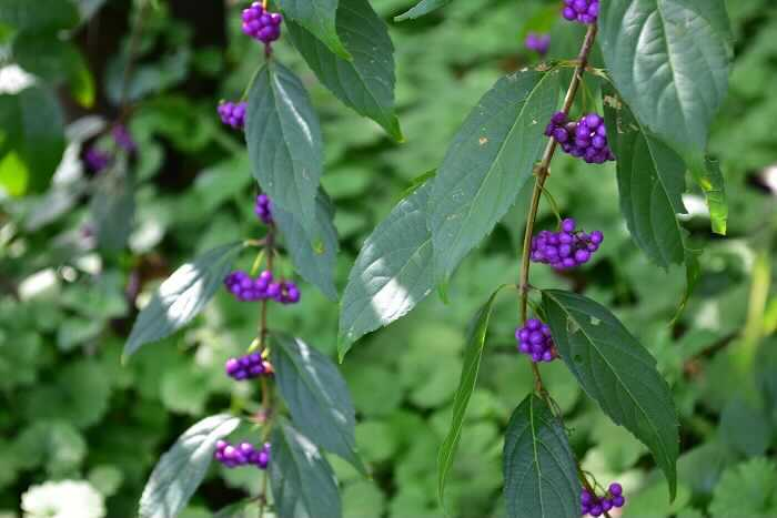 コムラサキ  ムラサキシキブの近縁の園芸種にコムラサキがあります。(コムラサキシキブと呼ばれることもあります)  流通上はコムラサキも含めてムラサキシキブして販売されていることが多く、園芸店で販売されているムラサキシキブはコムラサキであることが多いため、個人宅や公園などの公共スペースの植栽で見られる、たわわに紫の実がついた庭木はほとんどがコムラサキです。