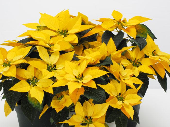 その中でも、今秋登場する最注目のポインセチアが「イエロールクス」です! お部屋をパッと明るくしてくれる鮮やかな黄色い苞が最大の特長で、ポインセチアとしてはもちろん、冬の室内をこれほど明るく彩るイエローカラーの鉢花はそれほど多くありません。