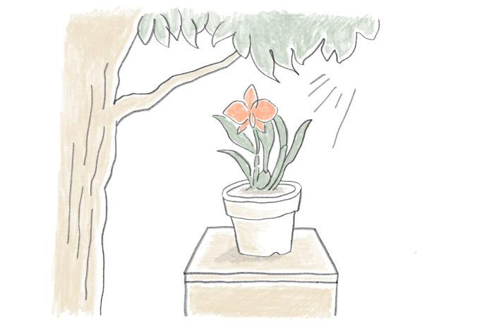 夏「直射日光はNG!水やりは夕方以降に」 ランにとっても日本の猛暑と陽射しは辛いもの。日光は50~60%の遮光ネットを使って調節し、庭木がある場合は木漏れ日の下で育てるのもよいです。夏は乾きが速いため、晴れが続くときは毎日水やりをしてもよいでしょう。日中の水やりは株が蒸れて弱る原因になります。水やりは夕方以降に行うこと。株全体も湿らせ、冷やしてあげましょう。
