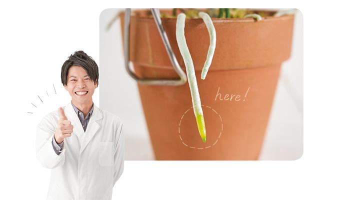ランの生長具合は、根の先端の状態で見分けることが可能。活発に生長しているときの根の先端は艶のある黄緑色、または赤褐色になっています。先端以外は白い状態ですが、根の生長が停止すると、先端も白い表皮に覆われます。このように根の変化を確認し、夏の生長期に多くの根の先端が色付いていたら、水やり頻度を高めても良い合図になります。