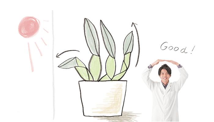 冬から春にかけて室内でランを管理していると、新芽や花芽が太陽光の方向(主に 窓際方向)に斜めに伸びてしまう...... 。そんな経験はないでしょうか?対策としては、新芽が出ている反対側からしっかり光を当てるようにします。そうすることで、新芽が真っすぐに伸びて、見た目のバランスも向 上。古い葉の光合成効率も高められます。