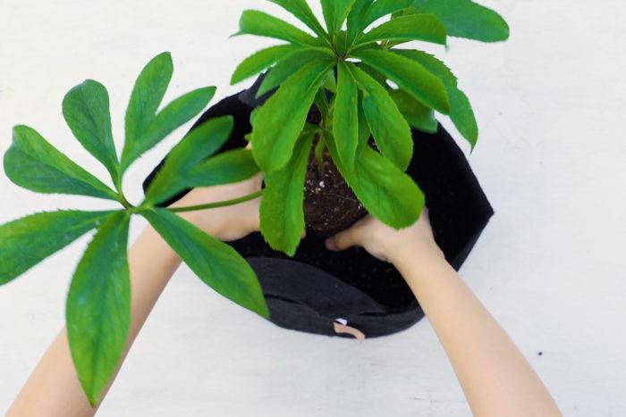 苗を置いて高さや位置を調整しましょう。大体鉢の縁から1cmぐらい低い位置に土の表面が来るように、高さを調整します。