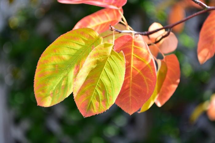 ジューンベリーはシンボルツリーとしてよく使われる他、街路樹としても植栽されています。白い花とかわいい赤い実、紅葉、樹形が美しいことなど、1年を通して楽しみがたくさんあることが庭木として好まれる理由です。