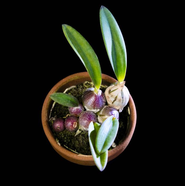 プロステケア・未同定種 Prosthechea sp 赤紫に色づいたまん丸のバルブがブドウの様な姿で、並んでいる様に育つ姿に見惚れる。