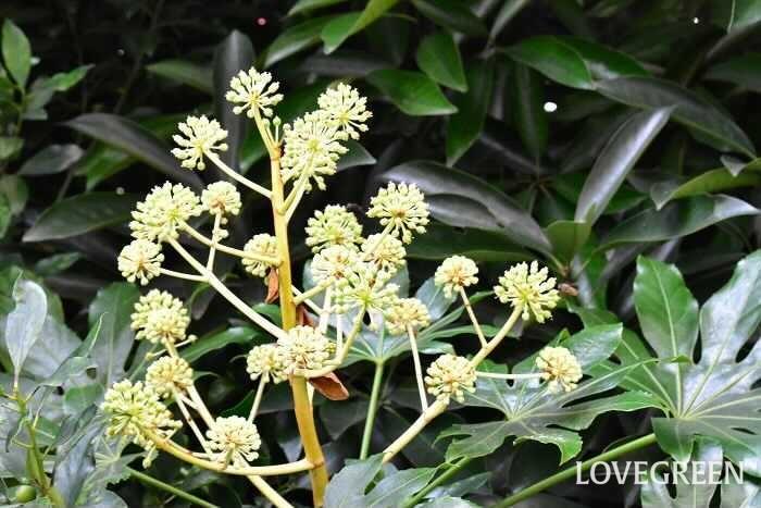 学名:Fatsia japonica 分類:常緑低木 樹形:木立型 花期:10月~12月 ヤツデは大きな手のひらのような形の葉が印象的な常緑低木です。日陰でもよく育つことから、シェードガーデンで活躍します。初夏に黒く熟す果実も可愛らしく観賞価値があります。