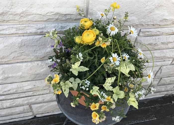 花の中心が黄色いシンプルなマーガレットに、黄色いラナンキュラス、ネメシア、コロニラ、ロータスブリムストーンを合わせ、紫のブラキカムを指し色に使い、白いスーパーアリッサムで爽やかさをプラス。アイビーとカレックスがアクセントになっています。  この寄せ植えは、早春から5月頃まで楽しめる組み合わせです。まだ肌寒さが残る2月頃、ビタミンカラーの明るい黄色でコーディネートした寄せ植えを飾ると元気に春を迎えられそうですね。