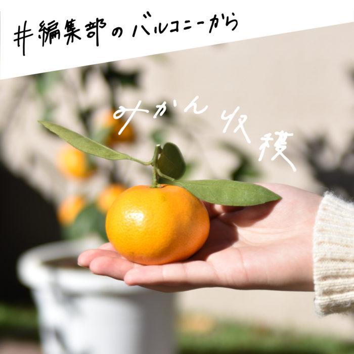 記念すべき第1回目はみかんの収穫。 「コタツにみかん」といわれるくらい、寒い季節の象徴的な存在である「みかん」。柑橘類のなかでも馴染みのある果物ではないでしょうか。