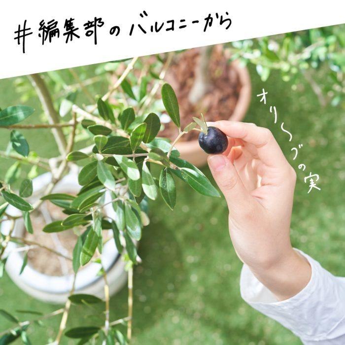第2回目はオリーブの実。編集部のバルコニーでは、花壇への地植えと鉢植え、両方でオリーブの木を育てています。 バルコニーにあるオリーブの木を数えてみたら、なんと5本以上もありました…!  編集部員からの人気も高いオリーブ。オリーブはモクセイ科オリーブ属の常緑高木。お庭の花壇や、ベランダなどに鉢植えで育てている人も多く、非常に人気が高い樹木です。