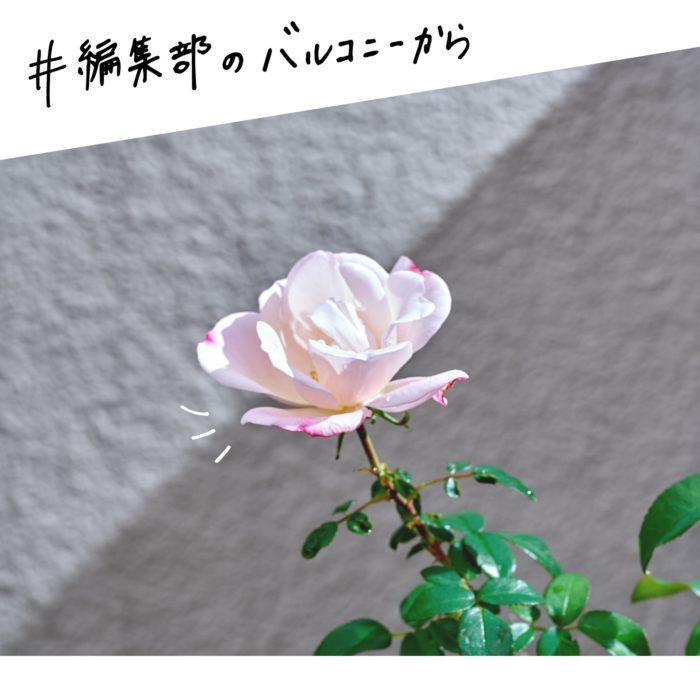 第3回目はバラ。ある朝、編集部員がバルコニーで咲くバラを発見。